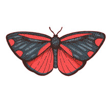 The Cinnabar Moth Hand Drawn V...