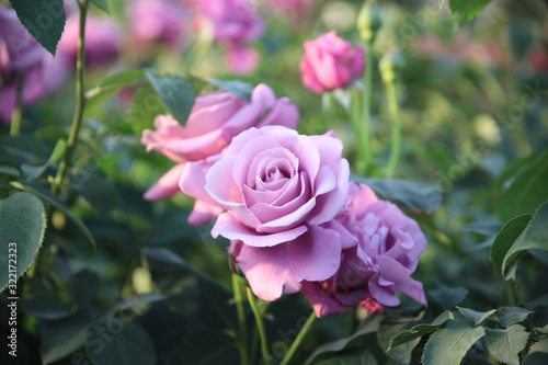 Keisei Rose Garden, Chiba, Japan