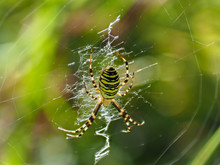 Female Wasp Spider On A Web