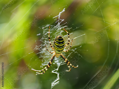 Female Wasp Spider on a Web Wallpaper Mural