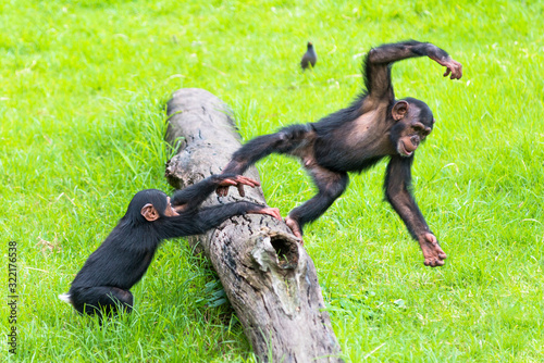 Fototapeta Two baby Chimps playing on a log.