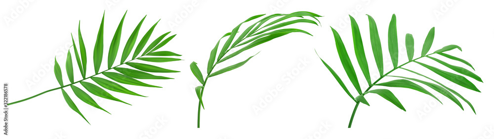 Fototapeta Green leaves of palm tree isolated on white background with clipping path. Set or collection