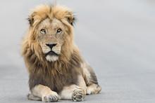 Male Lion Portrait In The Wild...