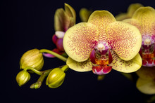 Closeup Of An Orchid Flower At...