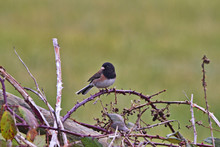 Charming Dark Eyed Junco Perch...