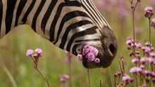 Close Up: Burchell's Zebra Eats Mouthful Of Pink Pompom Weed Flowers On Sunny Day In Slow Motion
