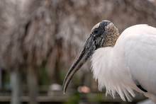 Close Up Of A Wood Stork Showi...