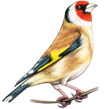 Goldfinch Hand Drawn Bird Watercolor Colored Pencils