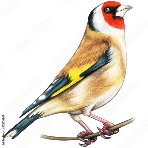 Fototapeta Goldfinch hand drawn bird watercolor colored pencils