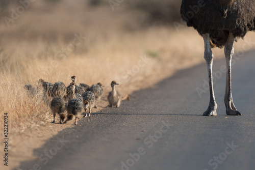 Photo Ostrich with chicks in the wilderness of Africa