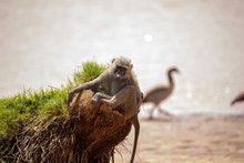 Baboon Sitting On A Trunk By T...