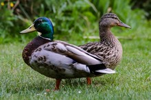 Duck On Grass