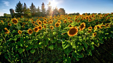 Sun Shine Over The Sunflower F...