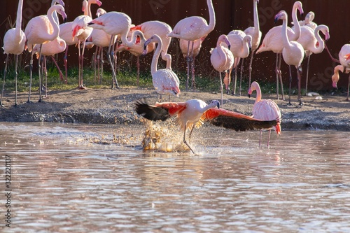 Flamingo spreading its wings while bathing in the pond of an animal sanctuary Canvas Print