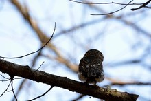 Barred Owlet(Collared Owlet Gl...