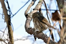 Barred Owlet(Collared Owlet Glaucidium Brodiei),Endemic To Taiwan.