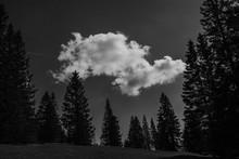 Monochrome Of Spruce Pine Tree...