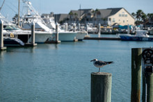 Seagull Standing On Pole With ...