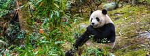 Giant Panda Eating Bamboo In China