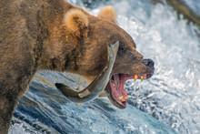 Adult Coastal Brown Bear Feeds...
