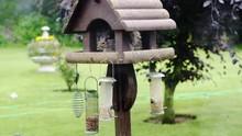 Grey Squirrel Eating Peanuts W...