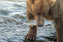 Adult Coastal Brown Bear Walks Away From The Waterfalls With A Freshly Caught Salmon Fish In Its Mouth.
