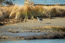 One Great Blue Heron Walking On The Sandy Beach Covered With Long Brown Grasses On A Sunny Day
