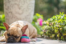 Cute French Bulldog Lying On M...