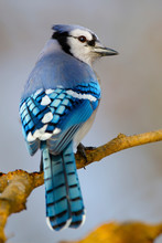 Blue Jay Sitting On Tree Branch