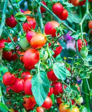 Tomatoes In The Garden,Vegetab...