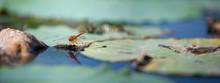 Dragonfly On A Lotus Leaf. The Volga River Delta. Summer