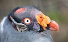 Close-up View King Vulture Sar...