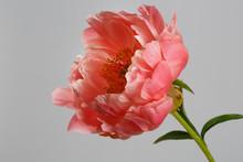Salmon Color Peony Flower Isol...