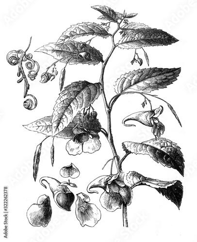 Touch-me-not balsam (Impatiens noli-tangere) / Antique illustration from Brockha Wallpaper Mural