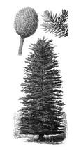 Norfolk Island Pine Or Norfolk Pine (Araucaria Heterophylla) / Antique Illustration From Brockhaus Konversations-Lexikon 1908