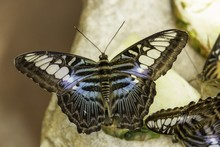 Big Butterfly With Black Blue ...