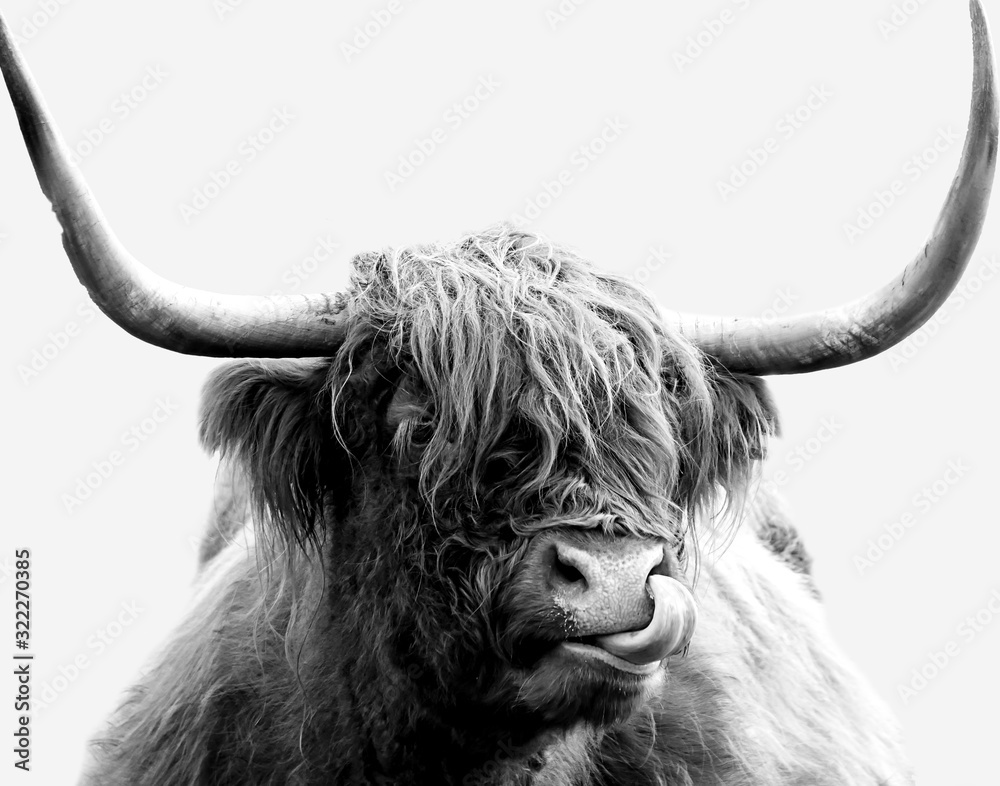 Black and white Highland cow on a white background. Minimalist cow licking its nose