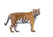 Sumatran tiger isolated on white background.