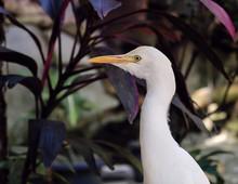 Great White Egret In Nature, Closeup