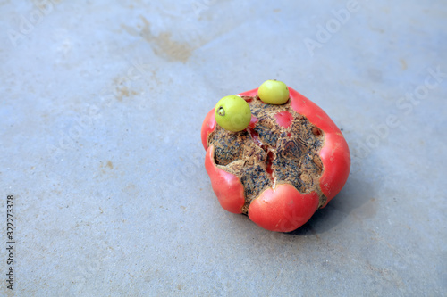 Growing malformed tomatoes on the ground Wallpaper Mural
