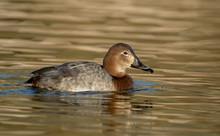 Pochard Female Swimming