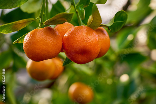 Obraz na płótnie Mandarins are growing on a tree branch with green leaves and blurred green background bokeh