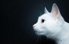 Portrait Of A White Cat With Yellow Eyes On A Black Background