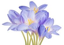 Light Blue Crocus Flowers Lush...
