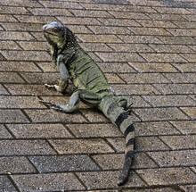 Closeup Shot Of An Iguana Look...