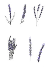 Illustration, Lavender, Hand-drawn By Gel Pen And Watercolor, Purple Flowers, Sketch