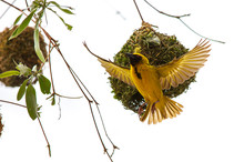Masked Weaver South Africa