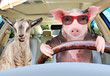 Pig in sunglasses carries in a car a goat showing tongue