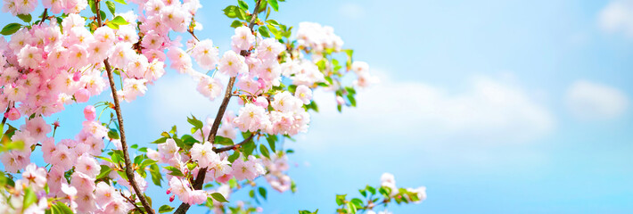 Panel Szklany Drzewa Branches blossoming cherry on background blue sky and white clouds in spring on nature outdoors. Pink sakura flowers, amazing colorful dreamy romantic artistic image spring nature, banner format.
