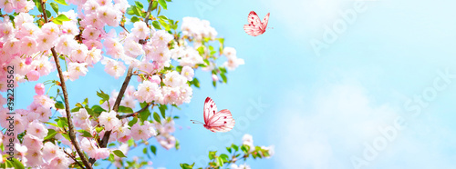 Branches blossoming cherry on background blue sky, fluttering butterflies in spring on nature outdoors Canvas Print